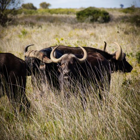 buffalo-home